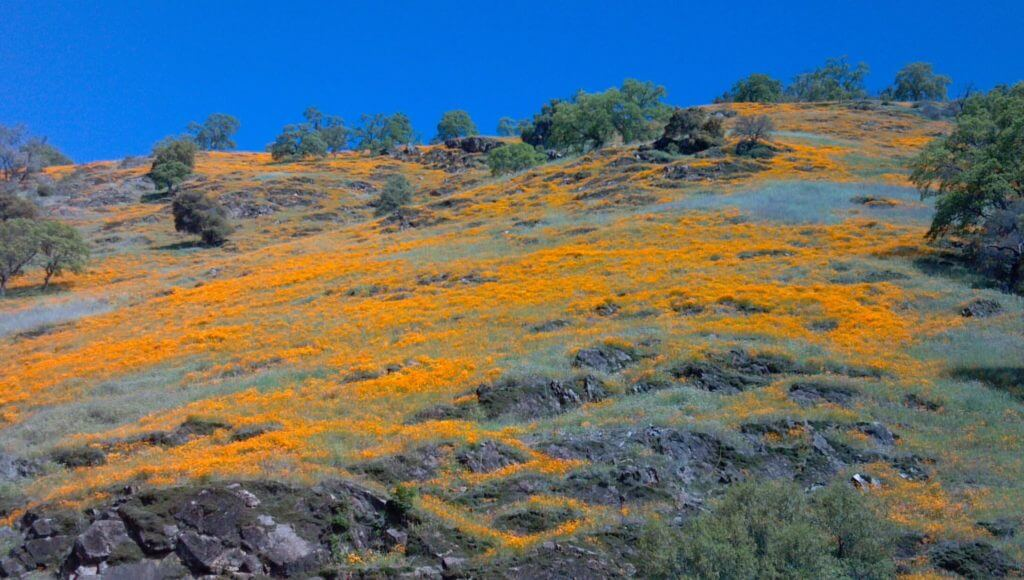 Poppies blooming along the South Fork of the American River